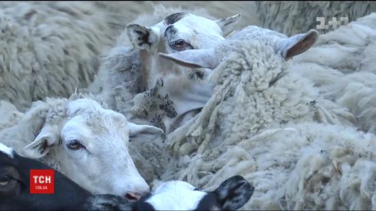 Нічні вампіри. На Тернопільщині невідома істота висмоктала кров у восьми овець