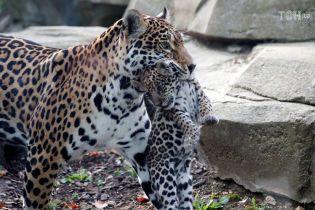 Плямисті і небезпечні: у паризькому зоопарку народились дитинчата ягуара