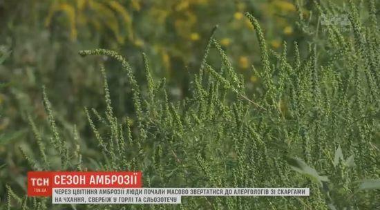 В Україні почався пік цвітіння амброзії, який спричинив алергію у мільйонів людей