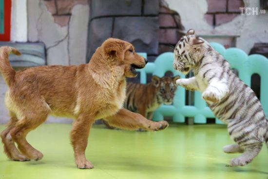 Милі малята: у китайському зоопарку показали кумедні ігри тигренят із собакою