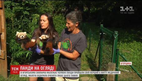В венгерском зоопарке свой первый медицинский осмотр прошли красные пандочки
