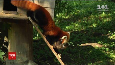 В венгерском зоопарке первый медосмотр прошли малыши красной панды