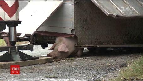 На западе Венгрии перевернулся грузовик, перевозивший 170 свиней