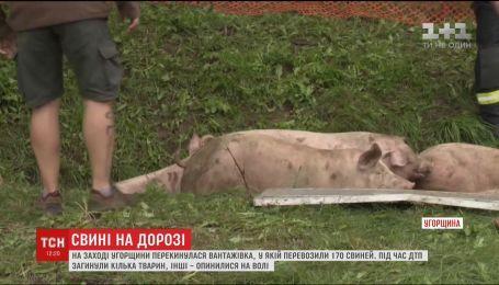 Свиньи на дорогах. На западе Венгрии перевернулся грузовик