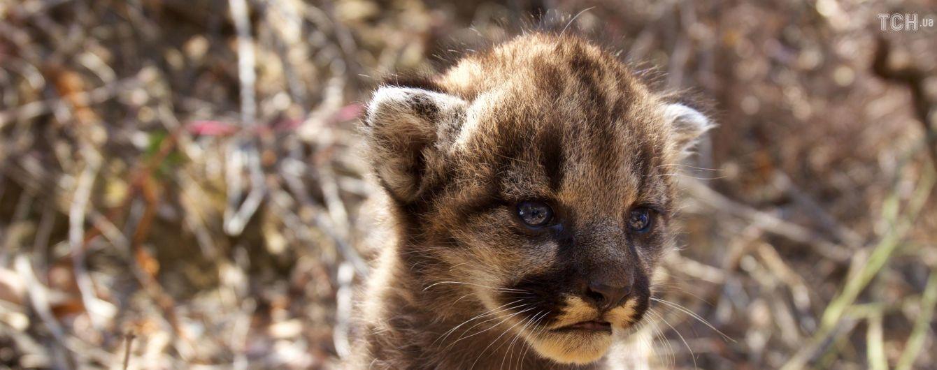 Небезпечні і пухнасті: у США дослідники показали кошенят гірського лева