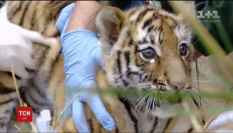 В британском зоопарке устроили медицинские проверки малых амурских тигрят