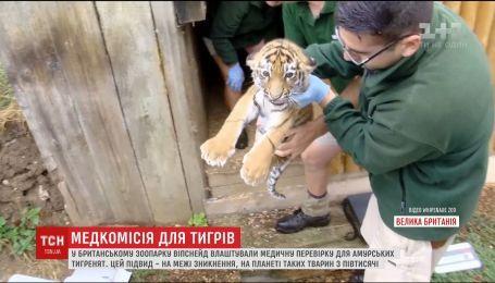 В Великобритании устроили медкомиссию для малых амурских тигрят