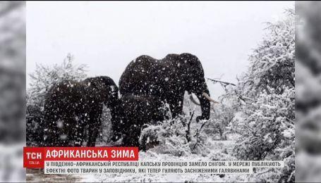 Жирафи і слони в снігу. На півдні Африки раптово замело природний заповідник