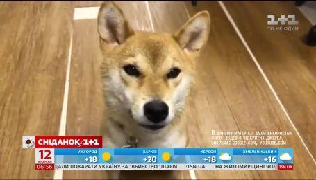 Пес, що говорить японською мовою підкорив Інтернет