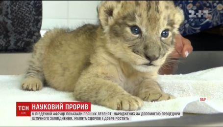 В Южной Африке показали львят, родившихся с помощью процедуры искусственного оплодотворения