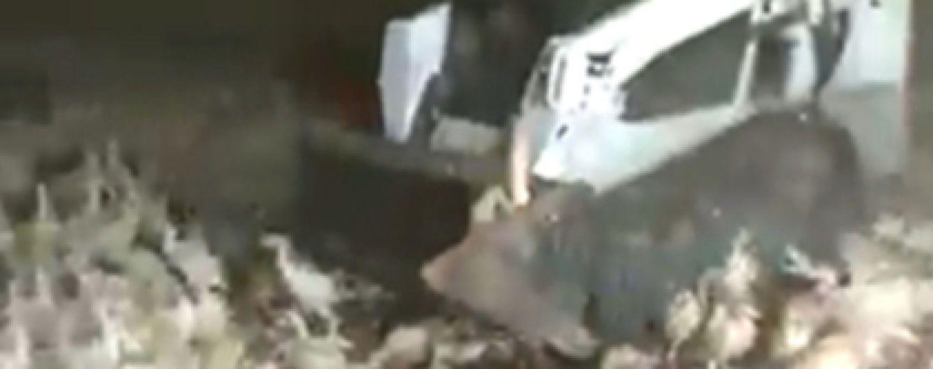 В России на ферме жестоко подавили индюков бульдозером