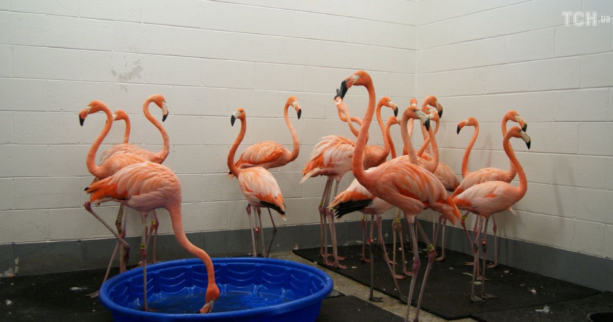 """Пернатая эвакуация: в США спасли розовых фламинго от мощного урагана """"Флоренс"""""""