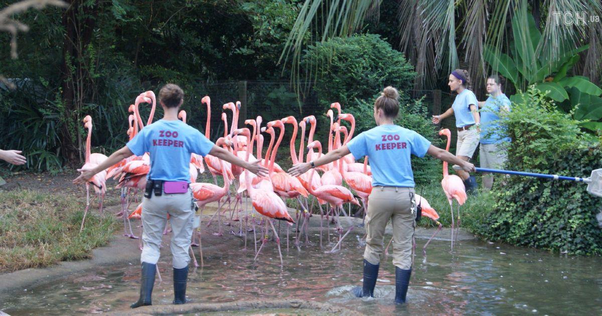 """Перната евакуація: у США врятували рожевих фламінго від потужного урагану """"Флоренс"""""""