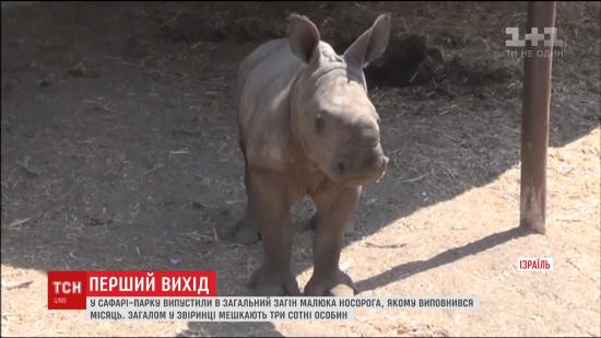 Немовля на півцентнера. В Ізраїлі в сафарі-парку показали новонародженого малюка носорога
