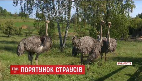 Спасти страусов. В маленьком селе на Прикарпатье решают судьбу экзотических птиц