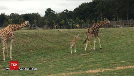 В английском сафари-парке родился детеныш редкого жирафа Ротшильда