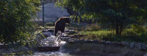 Двох циркових ведмедів привезли до притулку на Житомирщині. Як змінилося життя тварин після кліток