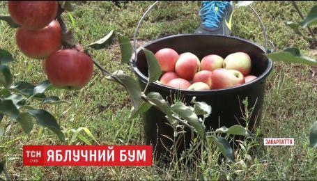На Закарпатье из-за обильного урожая фермеры объявили народный сбор яблок