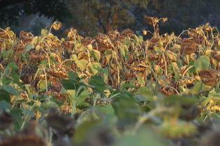 На Тернопольщине из-за кропления полей химикатами отравились более 250 селян
