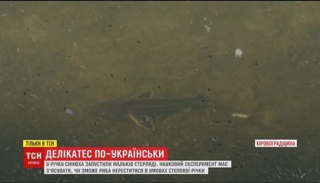На Кіровоградщині у річку випустили мальків червонокнижної стерляді
