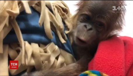 В штате Канзас с помощью кесарева сечения на свет появился младенец орангутанга