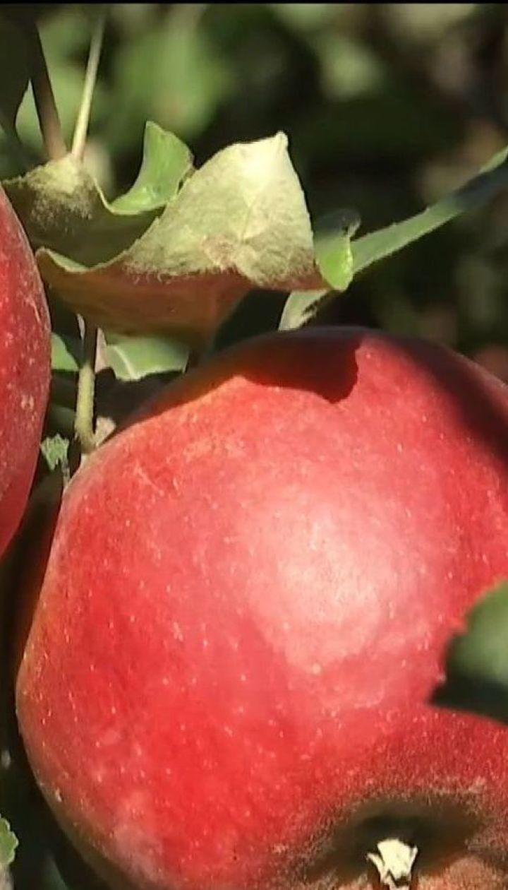 В Украине собрали рекордный урожай яблок
