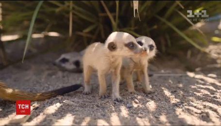 В Сиднейском парке дикой природы появились на свет крошечные сурикаты
