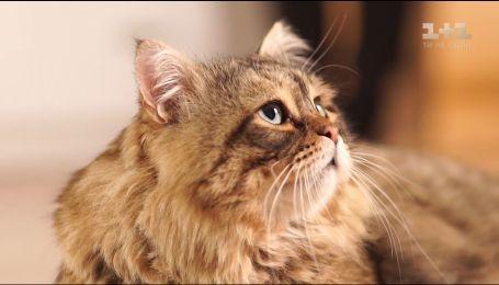 Про наших улюбленців. Сибірський кіт - стриманий і незалежний
