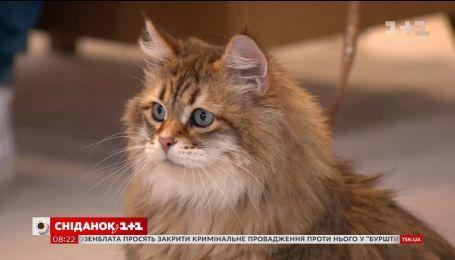 У студії - власниця сибірських котів Ольга Дудєвська та її улюблениця
