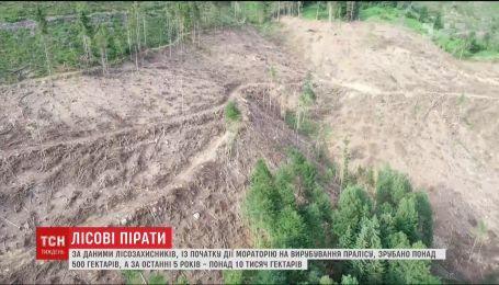 Мораторий на вырубку первобытного леса спровоцировал лесорубов срезать побольше уникальных деревьев