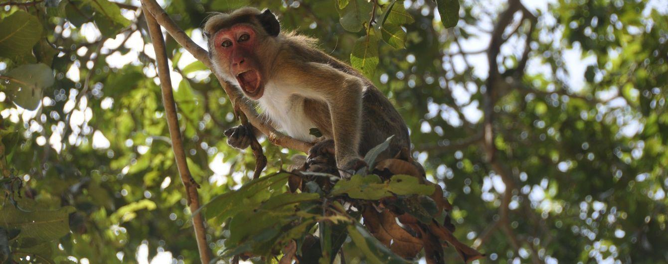 На Шри-Ланке обезьяна убила женщину, швырнув в нее кокос