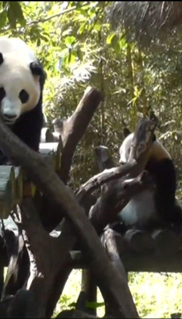 Дворічні панди із зоопарку у Китаї вчаться жити окремо від матері