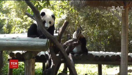 Двухлетние панды из зоопарка в Китае учатся жить отдельно от матери