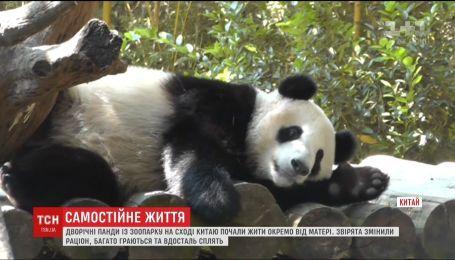 Двох китайських панд навчають жити окремо від матері