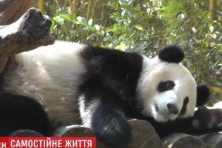 В китайском зоопарке показали, как учат молодых панд самостоятельной жизни