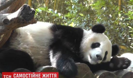 У китайському зоопарку показали, як вчать молодих панд самостійному життю
