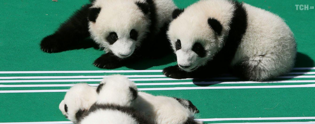 """Кінець """"мімімішності"""": у Китаї туристам заборонили годувати і фотографуватися з пандами"""