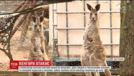 В австралийском Квинсленде кенгуру напал на двух местных жителей