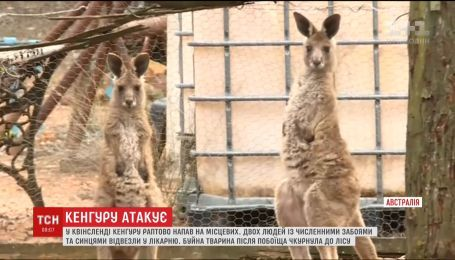 В австралійському Квінсленді кенгуру напало на двох місцевих жителів