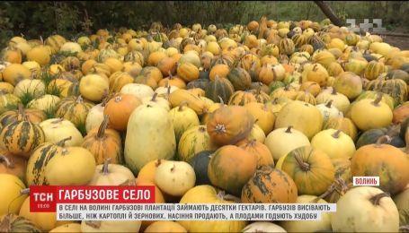 У селі на Волині гарбузи вирощують гектарами