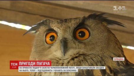 На Киевщине червонокнижний филин ужаснул хозяев частного подворья