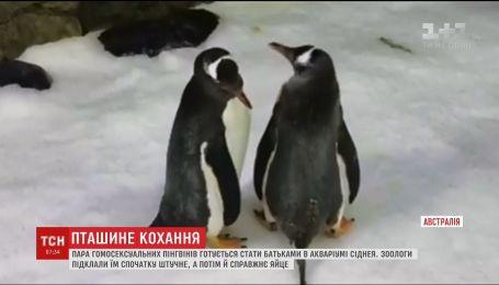 В Сиднее однополая пара пингвинов готовится стать родителями