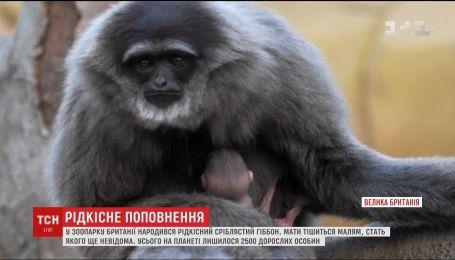 В британском зоопарке родился редкий серебристый гиббон