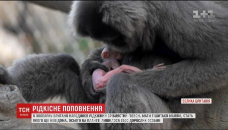 Работники британского зоопарка показали новорожденного серебристого гиббона