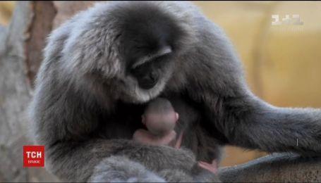 У британському зоопарку народився рідкісний сріблястий гібон