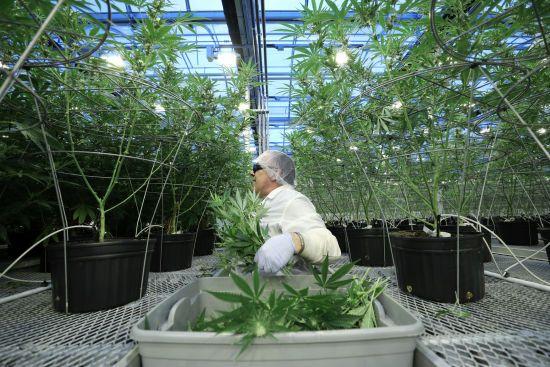 """""""Дозволили купувати, продавати та вирощувати"""": в Канаді повністю легалізували марихуану"""