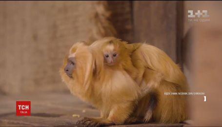 Рідкісне поповнення. Крихітних левових тамаринів показали у австралійському зоопарку
