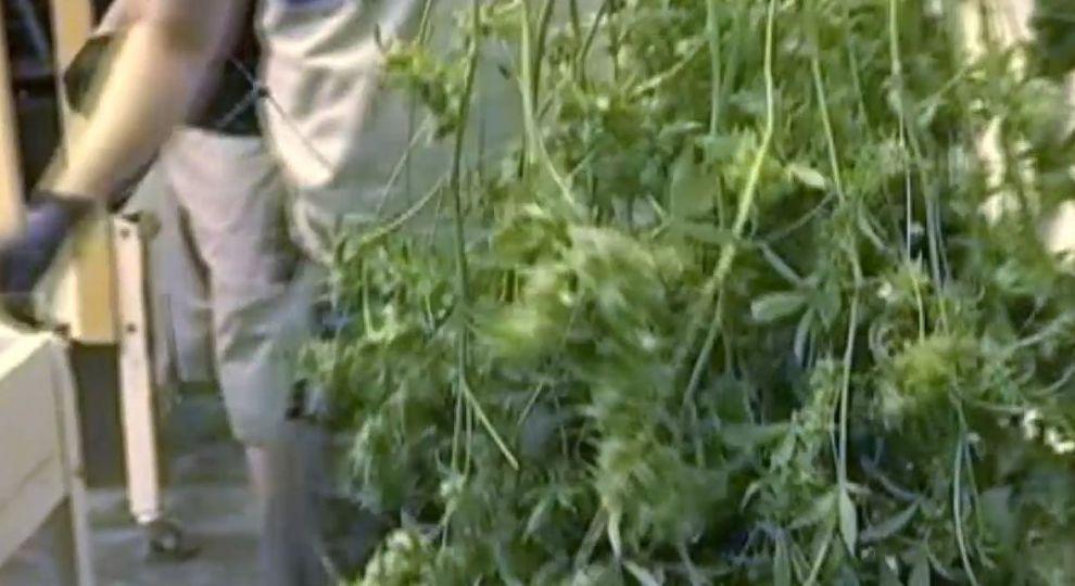 Видео выращивание конопли онлайн тестирования на марихуану
