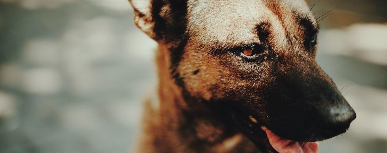 """GPS для вихованця: японці створили """"розумний"""" жилет для дистанційного керування собакою"""