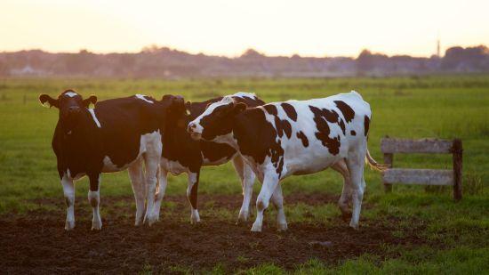 У Шотландії виявили коров'ячий сказ – востаннє його спалах розвалив сільське господарство Британії